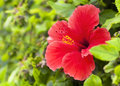 Red Hibiscus Flower With Leaves Royalty Free Stock Photography - 43862487