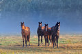 Horses On Misty Pasture Royalty Free Stock Images - 43862759