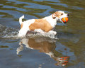 Brown And White Jack Russell Terrier In Water With Ball Royalty Free Stock Images - 43874849