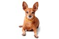 Miniature Pinscher Isolated On A White Royalty Free Stock Photos - 43890538
