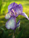 Purple Bearded Iris, Back-lit In Spring Stock Photo - 4395430