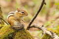 Chipmunk Royalty Free Stock Images - 43918859