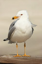 Seagull Royalty Free Stock Photography - 43923887