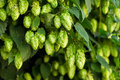 Green Hops Royalty Free Stock Photography - 43936007