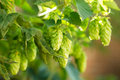 Green Hops Royalty Free Stock Photo - 43936025