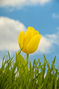 Tulip And Water Drops Royalty Free Stock Images - 4400589