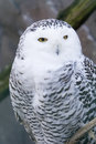 Snowy Owl Royalty Free Stock Photos - 4407248