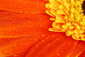 Orange Gerbera Royalty Free Stock Photos - 4408618