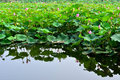 Lotus Flower Royalty Free Stock Photography - 44023807