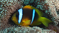 Amphiprion Bicinctus (Red Sea Clownfish) Stock Photo - 44038170