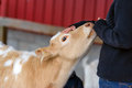 Petting A Calf On A Farm - Close Up Stock Photography - 44038712