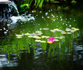 Lily Pads And Water Lily In A Pond Royalty Free Stock Photos - 44039148