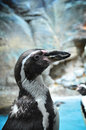 African Penguin Closeup Royalty Free Stock Image - 44087296