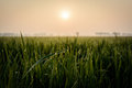 Rice Field At Morning Royalty Free Stock Photo - 44112745