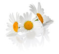 Chamomile Flowers Royalty Free Stock Photography - 44114877
