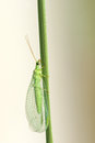 Lacewing Fly Royalty Free Stock Photography - 44170827