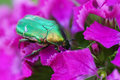 Green Beetle On A Pink Flower. Royalty Free Stock Images - 44181919
