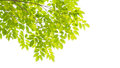 Green Leaves And Branches Royalty Free Stock Photo - 44184285