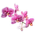 Blooming Motley Lilac Orchid, Phalaenosis Isolated On White Royalty Free Stock Photos - 44186088