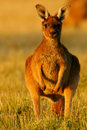 Western Grey Kangaroo Royalty Free Stock Image - 4427976