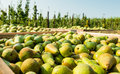 Crates With Picked Pears In The Orchard Stock Photography - 44215582
