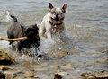 Dogs Playing At Sea Royalty Free Stock Photo - 44221355