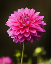 Pink Dahlia Stock Photography - 44221462