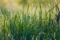 Close Up Of Fresh Thick Grass With Water Drops In The Early Morning Royalty Free Stock Images - 44234609
