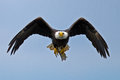 American Bald Eagle Royalty Free Stock Image - 44239326