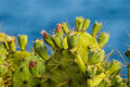 Pricly Pear Wild Green Succulent Cactus Royalty Free Stock Photo - 44242605