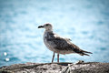 Seagull Stock Images - 44261254