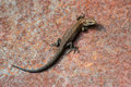 Brown Lizard Stock Photo - 44261470
