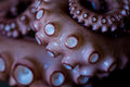 Tentacle Of Octopus Stock Images - 44261514