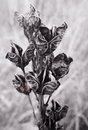 Greyscale Flowers Stock Images - 44261734