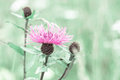 Summer Meadow With Pink Milk Thistle Wildflower Royalty Free Stock Image - 44262056