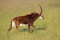 Sable Antelope Stock Images - 44269854