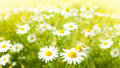 Flowers Field Royalty Free Stock Images - 44271449