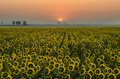 Field Of Sunflowers With Sunrise Royalty Free Stock Photos - 44295898