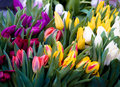 Tulips Royalty Free Stock Photography - 4433277