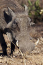 Warthog Royalty Free Stock Image - 4435126