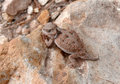 Mountain Short-horned Lizard Royalty Free Stock Photos - 4435598
