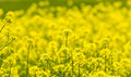 Field Mustard Royalty Free Stock Image - 44327856