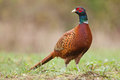Male Common Pheasant Royalty Free Stock Photo - 44327965