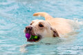 Dogs Swimming In Public Pool Stock Photo - 44334000