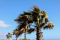 Palm Tree Blowing In The Wind Royalty Free Stock Photography - 44347007