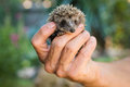 Male Hand Holding A Small Hedgehog Stock Photos - 44369053