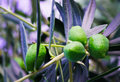 Green Olives On Branches Fith Leafs Blur Stock Image - 44374291