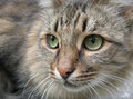 Grey Cat Royalty Free Stock Images - 44379669