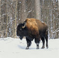 Bison Stock Photos - 4440443