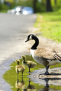 Goslings Stock Images - 4442404
